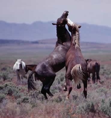 Mustangs. (this is a BLM photo, just before they carted them off to private land to die.)