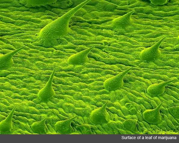 The surface of a marijuana leaf.