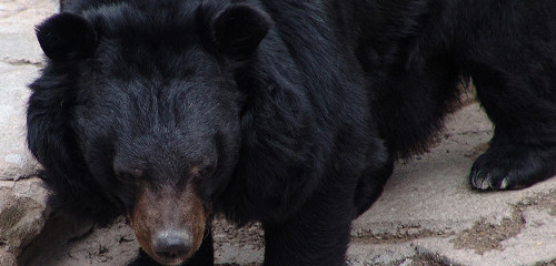 An Asiatic Black Bear