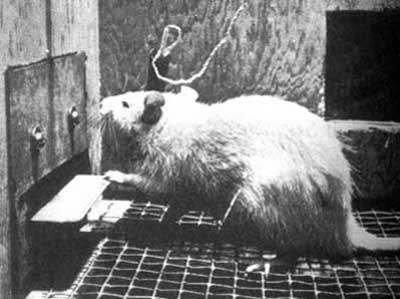 Rat Empathy