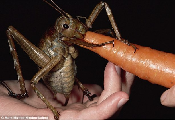 World's heaviest insect.