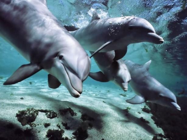 Dolphins talk!
