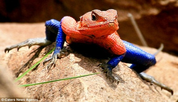 Mwanza Flat Headed Agama, the Spiderman lizard. Photo by Cassio Lopes.