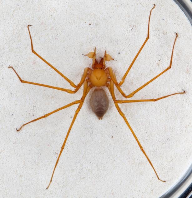 Trogloraptor spider.